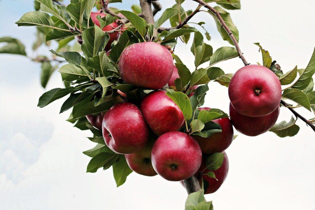 [Alt-teksti: Punaisia omenia runsaasti omenapuun oksissa.]